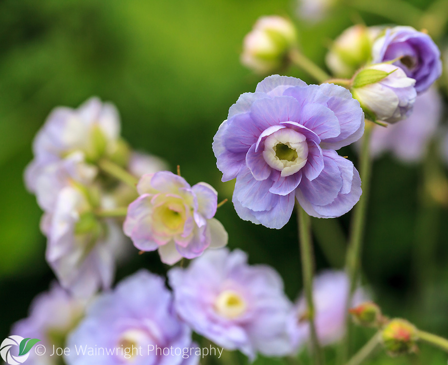 The beautiful, subtle colours of these double geranium flowers, stand out against the green of this mid-summer garden.