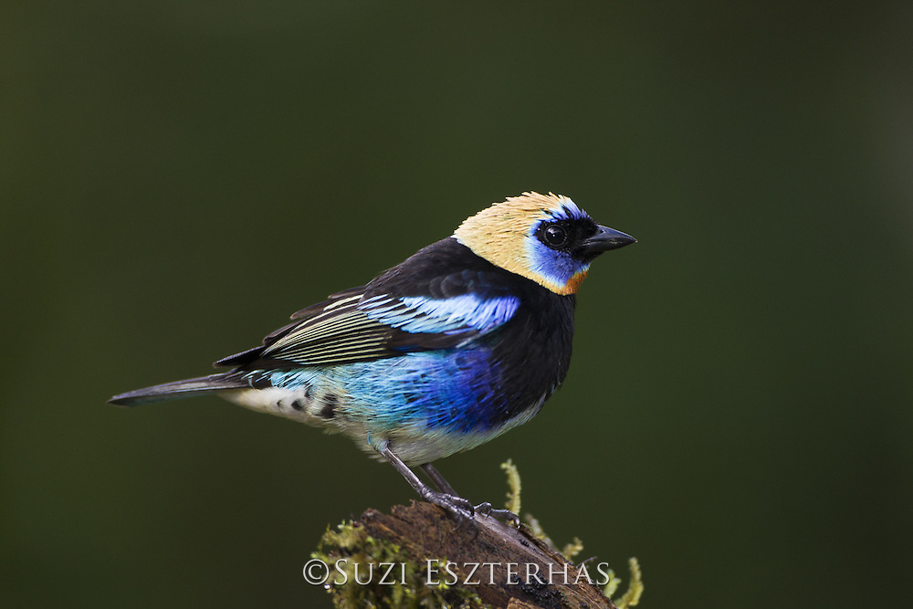 Golden-hooded Tanager <br /> Tangara larvata<br /> Northern Costa Rica, Central America