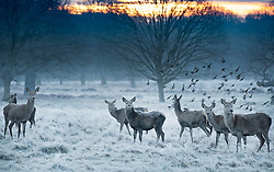 © Licensed to London News Pictures. 24/01/2019. London, UK. Young deer in Richmond Park, West London on a cold winter morning, as temperatures across the UK drop dramatically. Some parts of the UK are expecting snowfall following a spell of low temperatures. Photo credit: Peter Macdiarmid/LNP