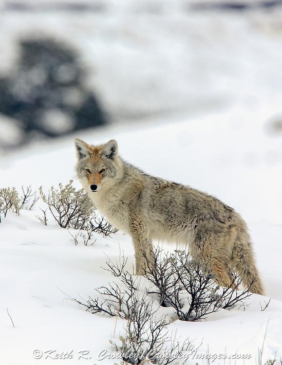 Coyote (Canis latrans) in Habitat