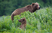 A mother Brown Bear and one of her cubs on the Kenai Peninsula.