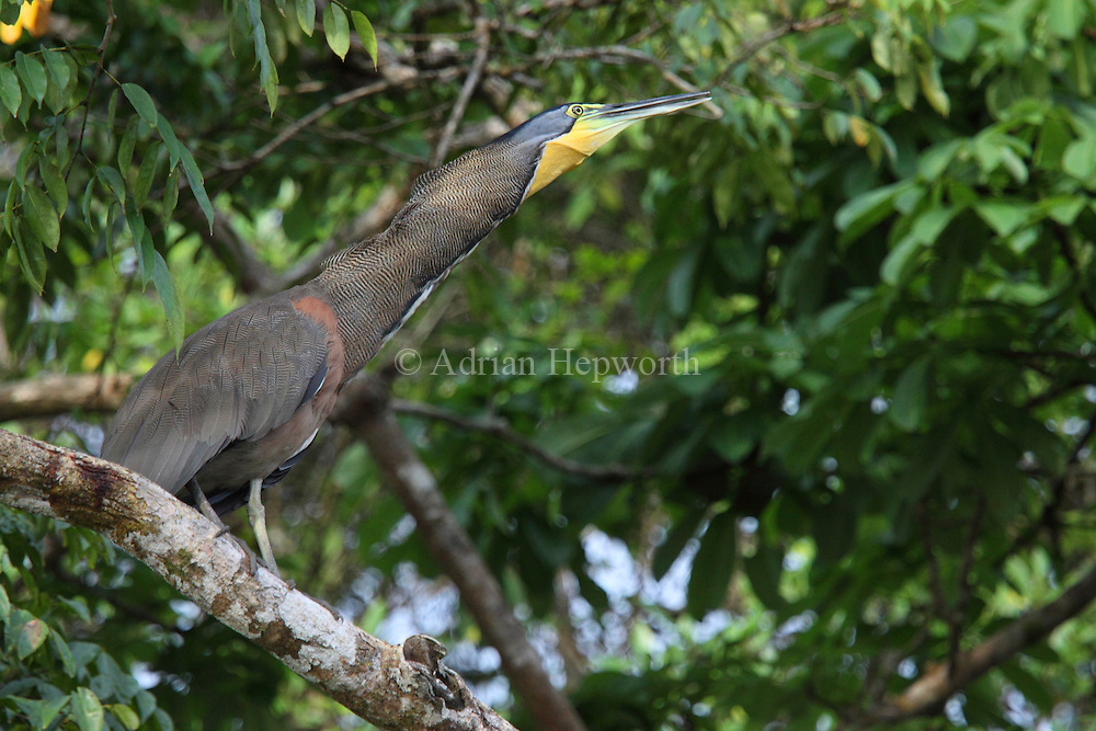 Bare-throated Tiger Heron (Tigrisoma mexicanum) calling, Tortuguero National Park, Costa Rica. <br />