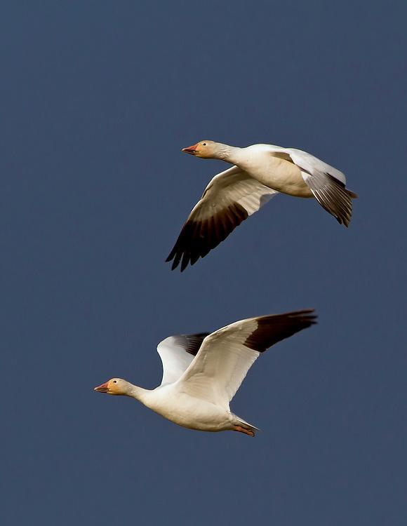 Alaska. Snow Geese (Chen caerulescens) in flight during a migration stopover on Matanuska Valley fields.
