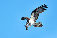 Osprey (Pandion haliaetus) carrying fish, Petite Riviere, Nova Scotia, Canada