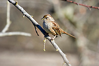 Golden-crowned Sparrow (Zonotrichia atricapilla) - winter plumage,  Healdsburg, California, USA