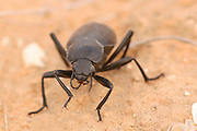 Close up of a dung beetle