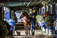 In one of the stables at Santa Anita Park a young man walks a horse to its stall where it will rest for the rest of the day after going through some routine exercises.