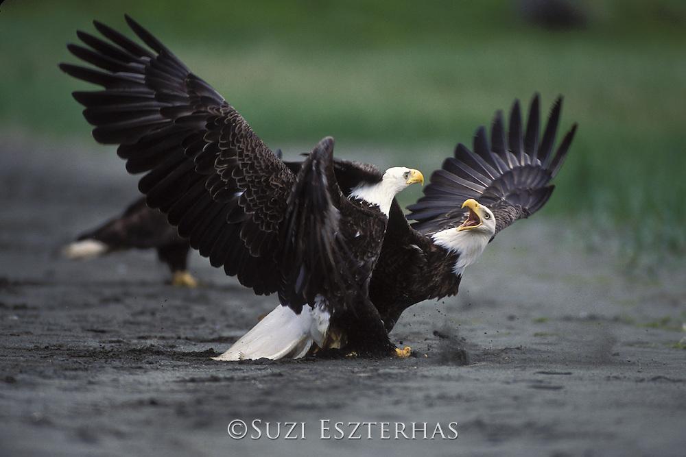 Bald Eagle<br /> Haliaeetus leucocephalus<br /> Amaknak Island, Alaska