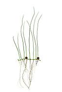Pillwort - Pilularia globulifera