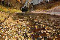 Fallen leaves littering the sandstone slickrock floor at the entrance to the Subway canyon formation Left Fork of North Creek, Zion National Park Utah USA