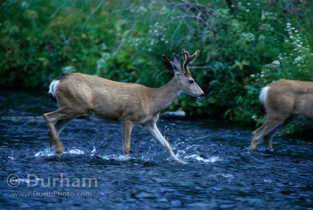A young mule deer buck (Odocoileus hemionus) crosses the Metolius River. Deschutes National Forest, Oregon.