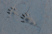 Tracks from an otter, showing both the front and hind prints, with the heel clearly visible on the hind print, as are the five toes.