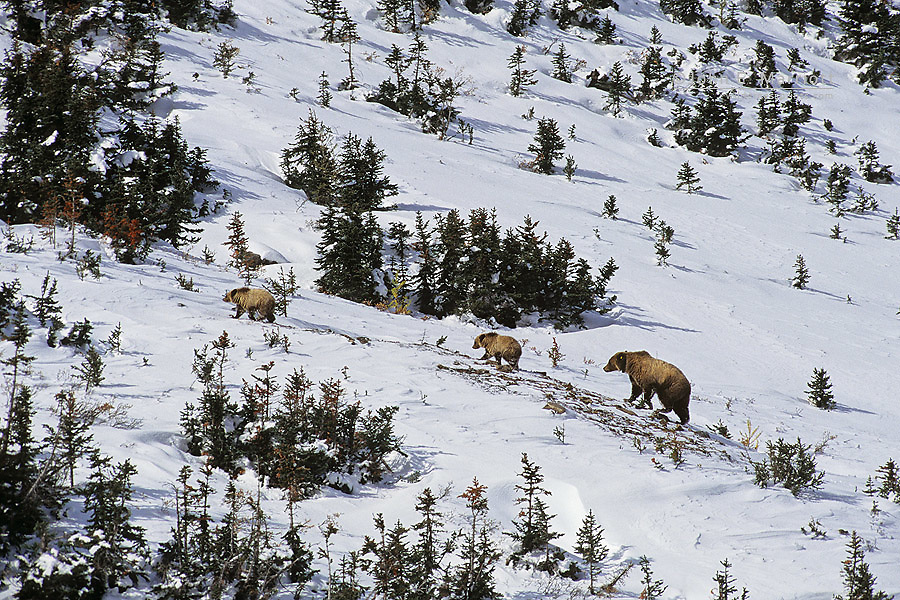 Grizzly bear mother and cub in the Canadian Rockies <br />(permission granted to remove ear tag and collar if required)