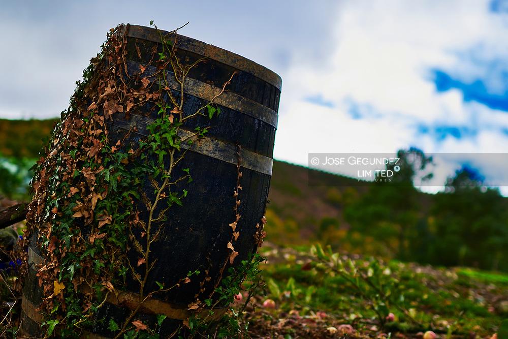 Ivy growing in a cider barrel