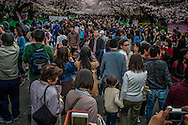 Standing room only under the blooming sakura (cherry trees).  There is a hurry to see the Soume-Yoshino cherry trees, the most famous of Japan's cherry trees because they last only a week to ten days.  In fact, wind or rain can bring the peddles down in a day.  <br /> <br /> The transience of these beautiful flowers is often viewed as a metaphor for the beauty of youth in Japanese culture.
