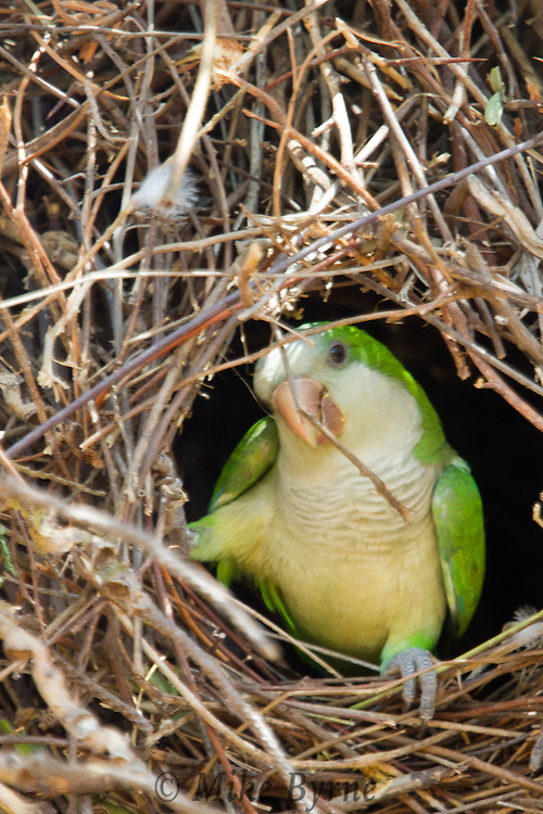 A pair of Monk Parakeets (Myiopsitta monachus) nesting  at Araras Eco Lodge (Mato Grosso, Brazil)