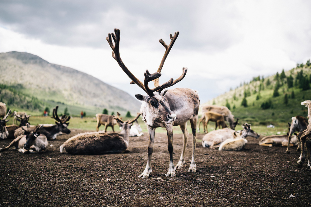 Domesticated reindeer graze near a small community of Tsaatan peoples in the East Taiga of northern Mongolia.