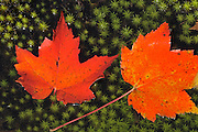 Red maple leaves (Acer rubrum) on hair cap moss (Polytrichum commune)<br /> Killarney Provincial Park<br /> Ontario<br /> Canada