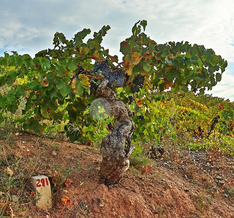 Cepa centenaria. Cordovin. La Rioja ©Daniel Acevedo / PILAR REVILLA
