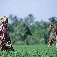 Bali, rice field