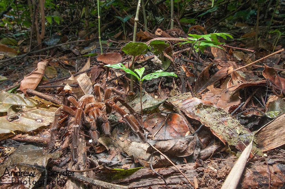 A male Burgundy bird eater (Theraphosa stirmi) searches for a mate. Kanuku Mountains, Guyana.