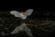 A western long-eared bat (Myotis evotis) flying over a pond in Oregon's high-desert. August, 2000. Dechutes National Forest.