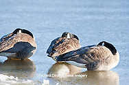 00748-05417 Canada Geese (Branta canadensis) flock on frozen lake at sunrise, Marion Co, IL