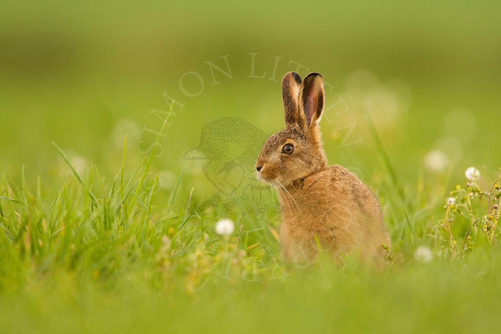 European Hare (Lepus europaeus) juvenile in field margin, Norfolk, UK.