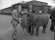 Baby Elephants presented To Dublin Zoo.  (M82)..1979..18.07.1979..07.18.1979..18th July 1979..H.B. Ice Cream yesterday presented two baby elephants from Thailand to the Zoological Gardens, Phoenix Park, Dublin..In acknowledging the gift, Mr Terry Murphy,Director of the Zoo, said that they had been without an elephant of their own for some time. The one currently there was on loan from a zoo in England and would be returned there shortly.. Hearing this H B decided to sponsor the importation of the two young elephants from Bangkok, Thailand..Picture of Ms Mitch O'Sullivan and Mr Ted Murphy getting to know the baby elephant at Dublin Zoo. Terry Murphy looks on.