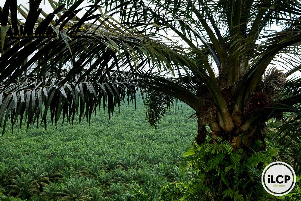African Oil Palm (Elaeis guineensis) plantation, Kinabatangan River, Sabah, Borneo, Malaysia