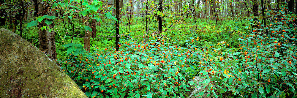 Jewelweed flourishes at Wyoming State Park, Pennsylvania.