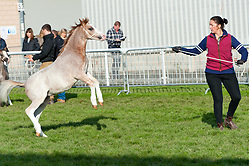 © Licensed to London News Pictures. 19/10/2019. Llanelwedd, Powys, Wales, UK. Bidding takes place on the first day of the 66th Fayre Oaks Pony Sale, held by Brightwell auctioneers at the Royal Welsh Showground, Llanelwedd in Powys, UK. <br /> The Fayre Oaks Pony Sale is the largest Sale in the World of registered Welsh Mountain Ponies Section A, Welsh Ponies Section B and their Part Breds. Photo credit: Graham M. Lawrence/LNP