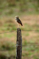 Burrowing Owl (Athene cunicularia), perched on fence post, Mato Grosso, Brazil
