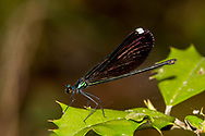 Ebony Jewelwing (Calopteryx maculata) - female<br /> United States: Louisiana: Rapides Parish<br /> Cypress Branch near Castor Plunge<br /> Evangeline Unit of Kistatchie National Forest<br /> 1-Apr-2017<br /> J.C. Abbott #2916