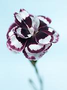 Dianthus 'William Brownhill' - pink