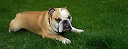 UK - Sunday, Aug 24 2008:  A bulldog relaxes lying on grass. (Photo by Peter Horrell / http://www.peterhorrell.com)