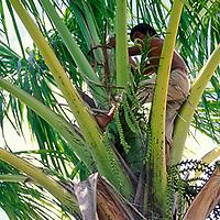 Hombre montado sobre palma de moriche, Delta Amacuro, Venezuela