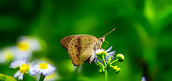 A closeup of what I believe to be a Clipper Butterfly in the garden on my Aster flowers