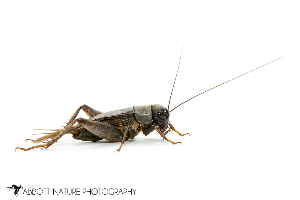 Field Cricket (Gryllus sp.)<br /> TEXAS: Val Verde Co.<br /> Devils River at Dolan Falls; 13.3 mi W of Loma Alta<br /> 16-18.IX.2011N29.88531 W100.99407<br /> J.C. Abbott #2544