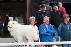 © Licensed to London News Pictures. 18/08/2018. Llanelwedd, Powys, UK. A Samoyed watches events from the ringside on the second day of The Welsh Kennel Club Dog Show, held at the Royal Welsh Showground, Llanelwedd in Powys, Wales, UK. Photo credit: Graham M. Lawrence/LNP