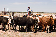 07 MAY  2004 -- WILLIAMS, AZ:  Cowboys work cattle in a corral  on the Willaha Ranch, north of Williams, AZ, May 7, 2004. The ranch is in the high desert country near the south rim of the Grand Canyon. The ranch is in the high desert country near the south rim of the Grand Canyon. Arizona ranchers are in the midst of a ten year draught that has dramatically reduced the size of their herds. At the same time, public consumption of beef has soared because of the popularity of the Atkins and other high protein diets, so while prices are up, herd yields are down because of the drought.   PHOTO BY JACK KURTZ