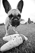 Black and White Portrait of Fawny the French Bulldog