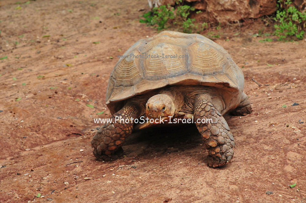 Aldabra Giant Tortoise (Geochelone gigantea), from the islands of the Aldabra Atoll in the Seychelles,