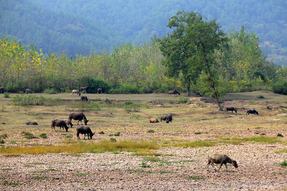 Asia, China, Guilin. Water buffalo on shores of Li River.