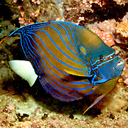 Blue Ringed Angelfish inhabit reefs. Picture taken West Papua, Triton Bay, Indonesia