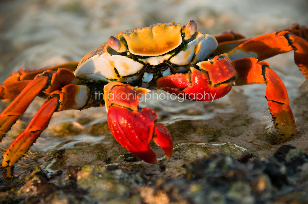 Sally Lightfoot crab, Galapagos Islands, Ecuador