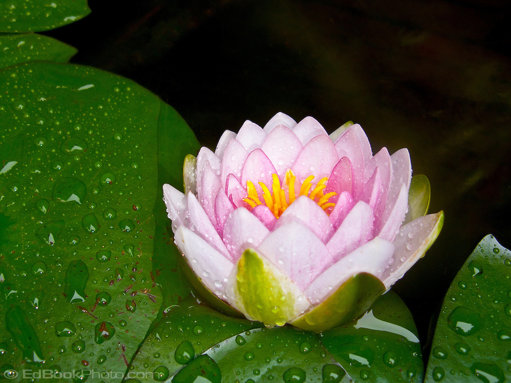pink petaled water lily with yellow reproductive parts