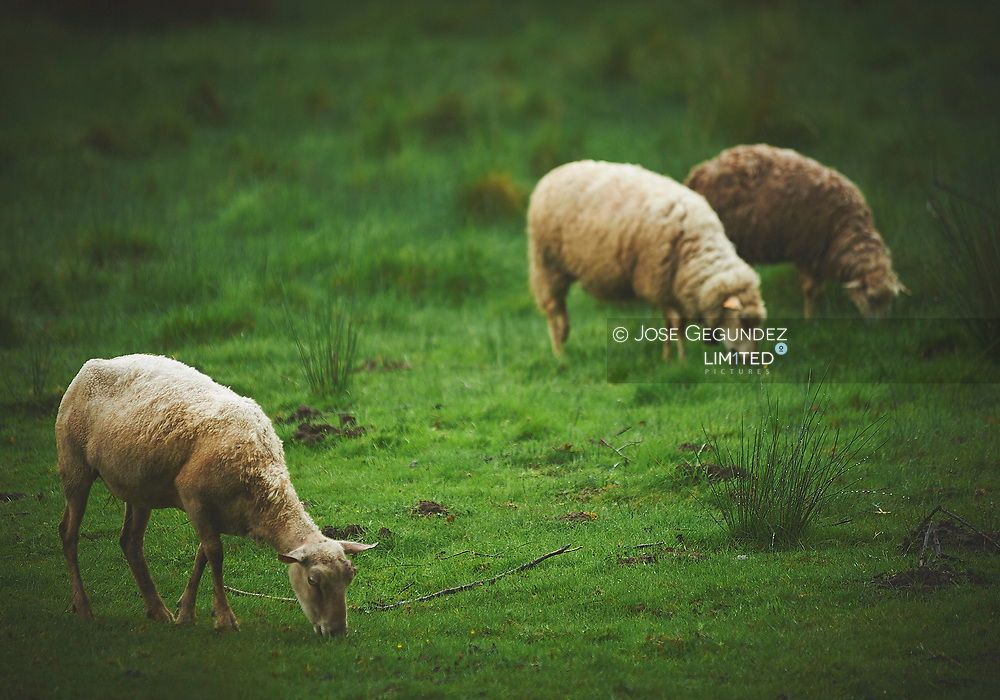 Sheeps grazing in the grass