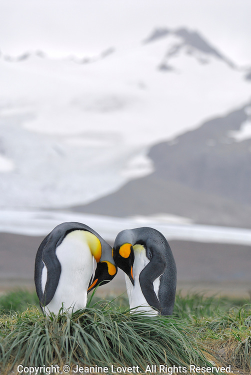 Preening king penguin couple on the tussock grass in  Salisbury Plain, South Georgia with the mountain in the background.