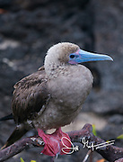 A Red-footed booby rests in a mangrove tree on Genovesa island, part of the Galapagos archipelago of Ecuador.